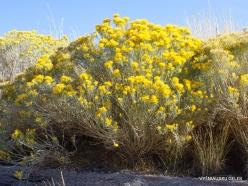 Great Salt Lake. Rubber rabbitbrush. (Ericameria nauseosa) (4)