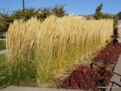 Salt Lake City. Capitol Hill landscaping. Feather reed-grass (Calamagrostis x acutiflora) 'Karl Foerster' (2)