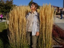 Salt Lake City. Capitol Hill landscaping. Feather reed-grass (Calamagrostis x acutiflora) 'Karl Foerster' (3)