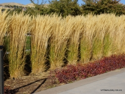 Salt Lake City. Capitol Hill landscaping. Feather reed-grass (Calamagrostis x acutiflora) 'Karl Foerster' (4)