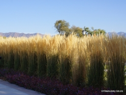 Salt Lake City. Capitol Hill landscaping. Feather reed-grass (Calamagrostis x acutiflora) 'Karl Foerster' (5)
