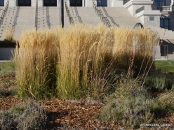 Salt Lake City. Capitol Hill landscaping. Feather reed-grass (Calamagrostis x acutiflora) 'Karl Foerster'