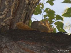 Salt Lake City. Temple Square. Fox squirrel (Sciurus niger)