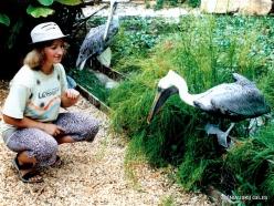 Margarita Isl. La Asunción. Laberinto Tropical. Brown pelican (Pelecanus occidentalis)