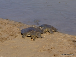 Alexander River National Park. African softshell turtle (Trionyx triunguis) (4)