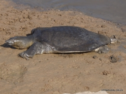 Alexander River National Park. African softshell turtle (Trionyx triunguis) (5)