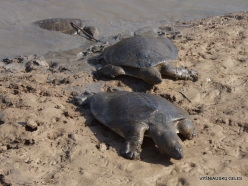 Alexander River National Park. African softshell turtle (Trionyx triunguis) (6)