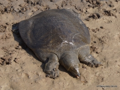 Alexander River National Park. African softshell turtle (Trionyx triunguis) (7)