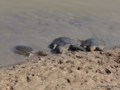 Alexander River National Park. African softshell turtle (Trionyx triunguis)