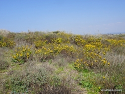 Habonim Beach Nature Reserve. Sharon Plain vegetation (batha) (8)