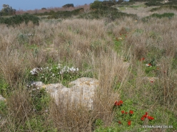 Hof Dor. Sharon Plain vegetation (batha) (13)