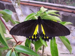 West Papua. Arfak Mountains. Meni. Butterly farm. Oblong-spotted birdwing (Troides oblongomaculatus papuensis)