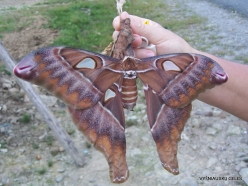 West Papua. Arfak Mountains. Meni. Hercules moth (Coscinocera hercules) (2)