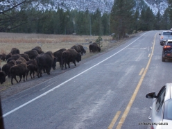 Yellowstone. Hayden Valley. American bison (Bison bison) (2)