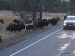 Yellowstone. Hayden Valley. American bison (Bison bison) (3)