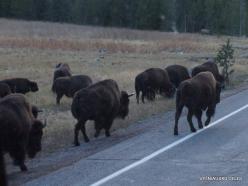 Yellowstone. Hayden Valley. American bison (Bison bison) (4)