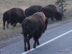 Yellowstone. Hayden Valley. American bison (Bison bison)