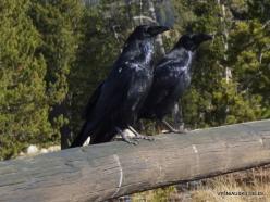 Yellowstone. Mud Volcano Area. Western ravens (Corvus corax sinuatus)