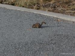 Yellowstone. The Grand Canyon of the Yellowstone. East chipmunk (Neotamias minimus)
