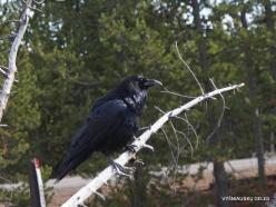 Yellowstone. Upper Geyser Basin. Western raven (Corvus corax sinuatus)