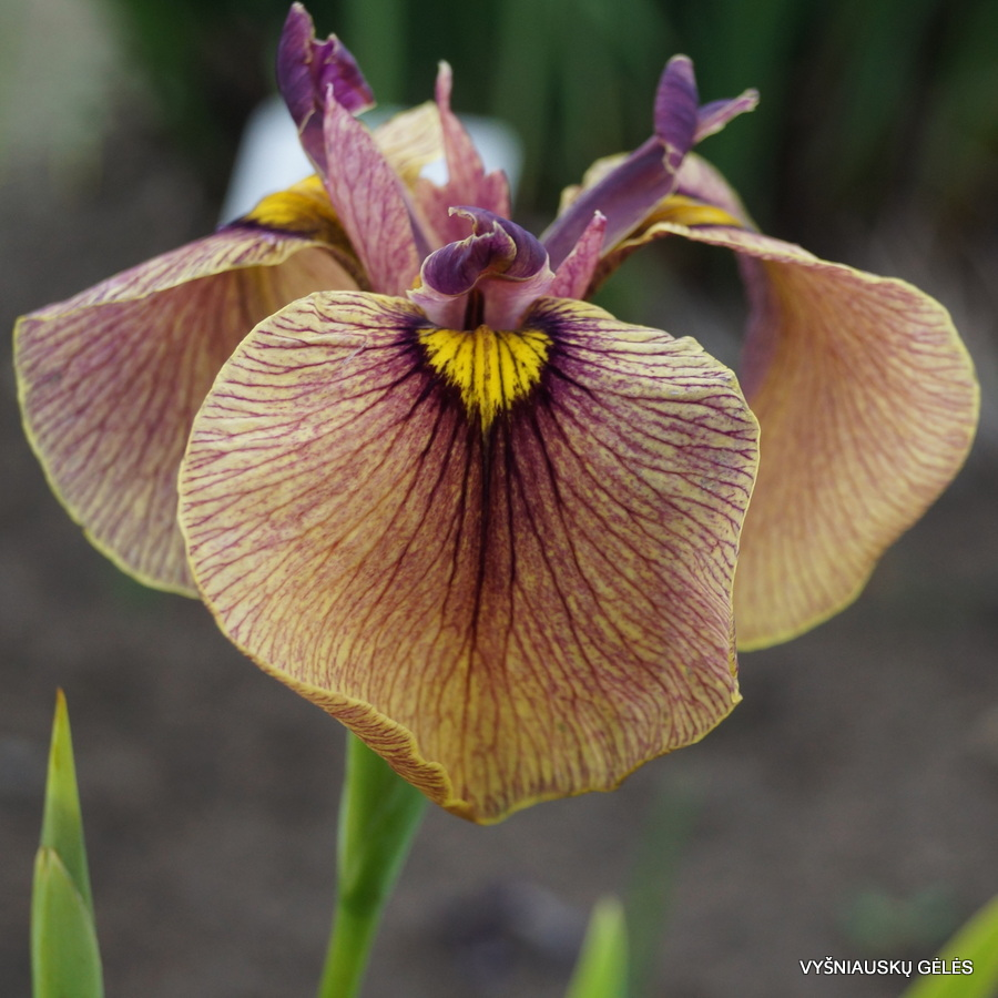 Iris x pseudata