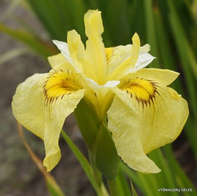 1-Iris-pseudata-Aicho-No-Kagayaki