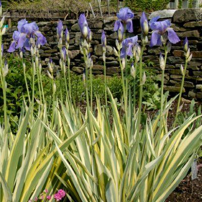 1-iris-palida-variegata