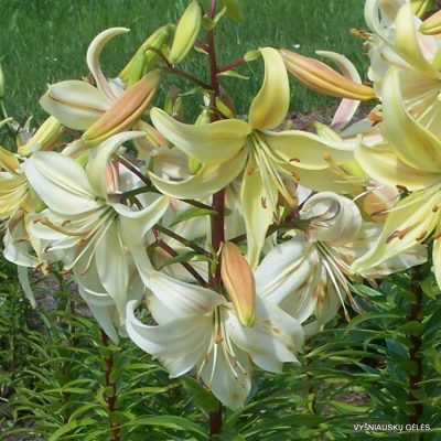 Lily-Belaya-Bezmolviya