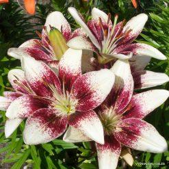 Lily-Purpurinis-Vakaras