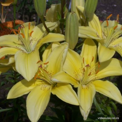 Lily-Venera