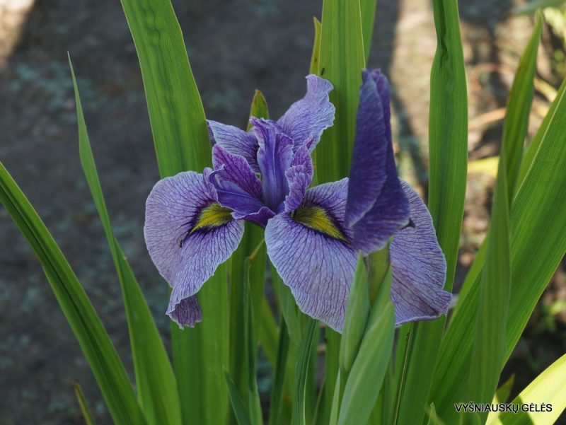Iris 'Take No Sato'