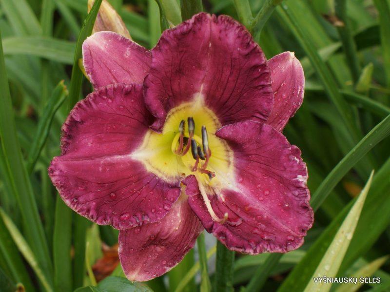 Hemerocallis 'A Groovy Kind of Love'