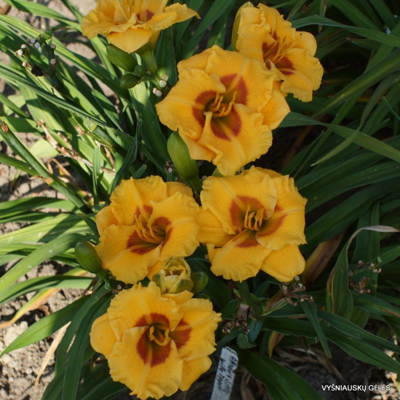 Daylily 'Aaron's Little Whopper'