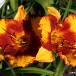 Daylily 'Adorable Tiger' (3)