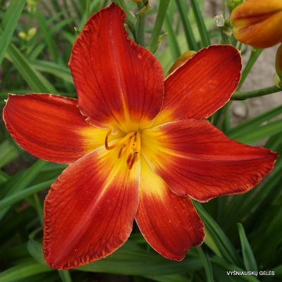 Daylily 'All American Chief'