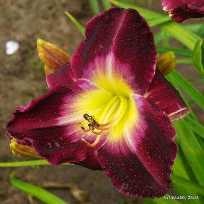 Daylily 'Another Night'