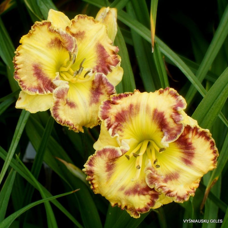 Daylily CONCERT MUSIC (2)