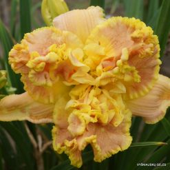 Daylily 'Champagne and Diamonds'