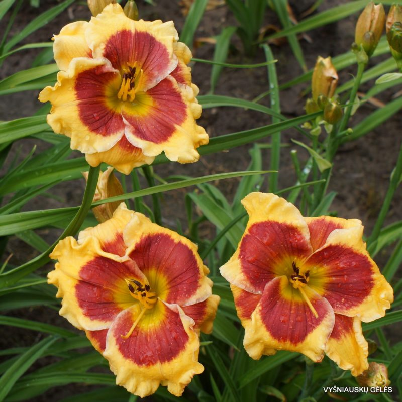 Daylily 'Connie Can't Have It'