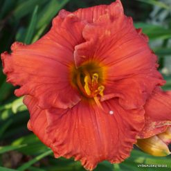 Daylily Fit to Eat