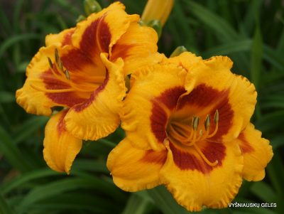 Daylily 'Fooled Me' (3)