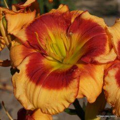Daylily 'Foolish Dragon'