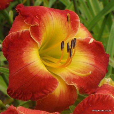Daylily 'Forever Redeemed'