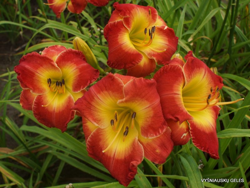 Daylily 'Forever Redeemed' (3)