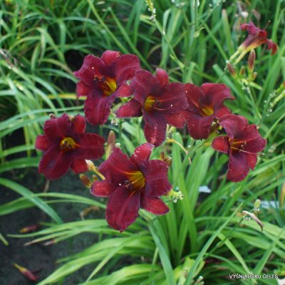 Daylily 'Fountain Of Blood' (2)