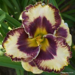 Daylily 'Grand Masque'