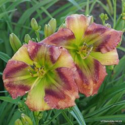 Daylily 'Green Rainbow'