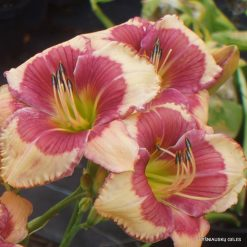Daylily 'Hello Screamer' (5)