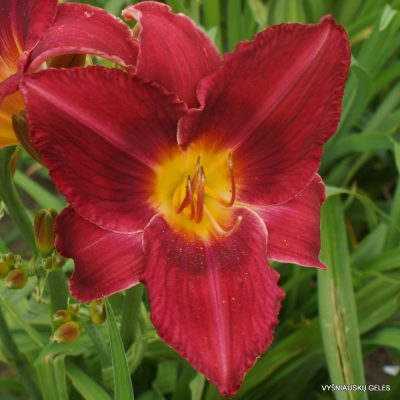 Daylily 'I Can't Stop Loving You'
