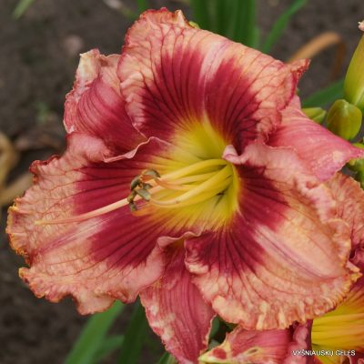 Daylily 'In Her Shoes'